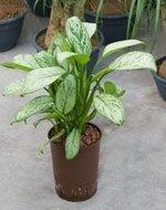 Aglaonema Christina 35 cm (Hydroplant)