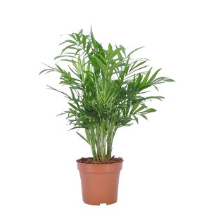 Chamaedorea Elegans - P 12 cm