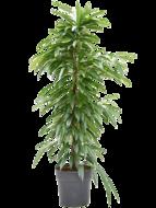 Ficus Alii 160 cm (Kamerplant)