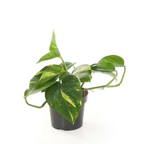 Epipremnum Pinnatum 'Aureum' - P 12 cm