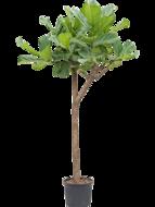 Ficus Lyrata op stam 180 cm (Hydroplant)