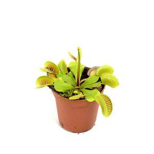 Mini Vleeseter (Dionaea muscipula) - P 9 cm