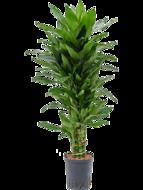 Dracaena Janet Lind 90 cm vertakt (Hydroplant)