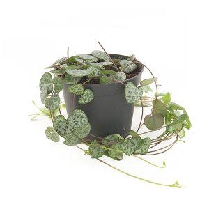 Chinees Lantaarnplantje mini (Ceropegia woodii) - P 8 cm