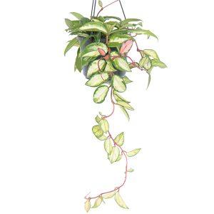 Hoya carnosa tricolor - P 15 cm