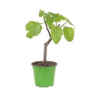 Kleine Vijgenboom (Ficus Carica) - P 14 cm