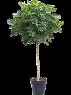 Schefflera Arboricola 190 cm op stam