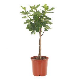 Vijgenboom (Ficus Carica) - P 20 cm