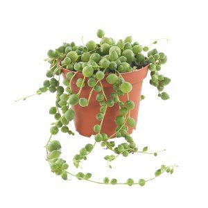 Erwtenplant mini (Senecio rowleyanus) - P 8 cm