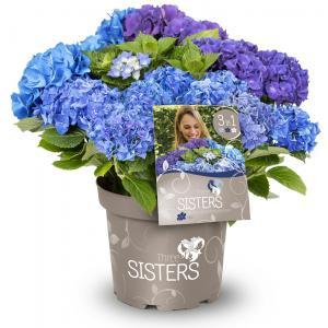 "Hydrangea Macrophylla ""Three Sisters""® Blue boerenhortensia"