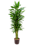 Dracaena Cintho 135 cm (Hydroplant)