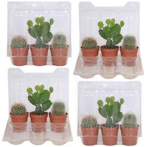 Mini Cactusbox (12 stuks)