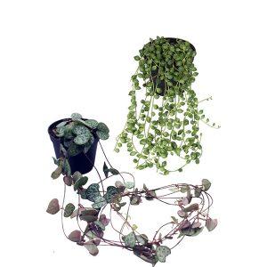 Mini erwtenplant - Chinees Lantaarnplant (package deal)