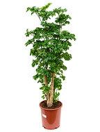 Aralia (polyscias) roble 90 cm (kamerplanten)