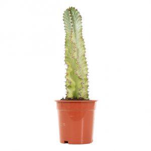 Euphorbia Ingens Marmorata Variegata
