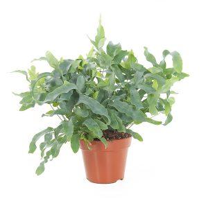 Blauwvaren (Phlebodium) - P 17 cm