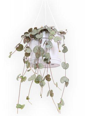 Chinees Lantaarnplantje - P 11 cm