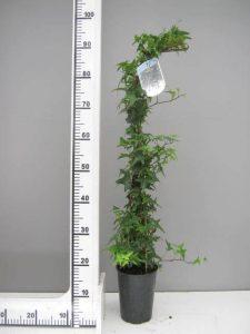 Kleinbladige klimop Hedera helix 'Sagittifolia'