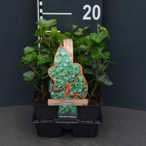 Klimop (hedera hibernica) bodembedekker - 4-pack - 1 stuks