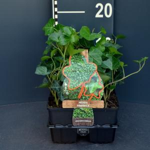 Klimop (hedera hibernica) bodembedekker - 6-pack - 1 stuks