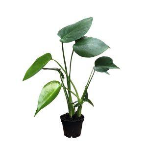 Monstera Deliciosa - Gatenplant - P6