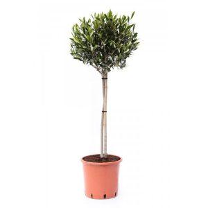 Olijfboom - Olea Europaea - P21