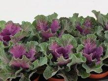 Sierkool Brassica glad rood