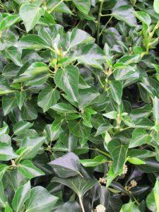 Struikhedera Hedera helix 'Arborescens'