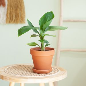 Bananenplant - Musa Tropicana - P12