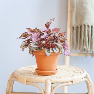 Begonia Beleaf Indian Summer - p12