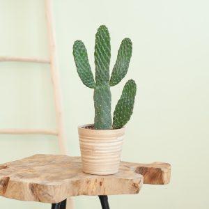 Cactus Opuntia - p12