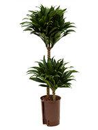 Dracaena compacta 75 cm (Hydroplant)