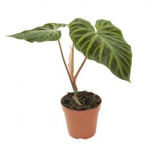 Philodendron Verrucosum - P12
