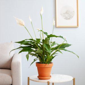 Spathiphyllum - P 12 cm