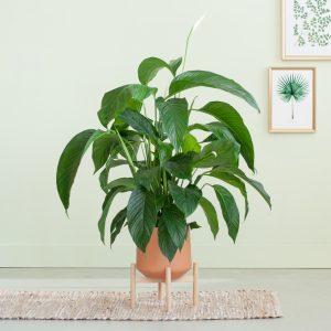 Spathiphyllum Sweet Lauretta - Lepelplant - P 21 cm